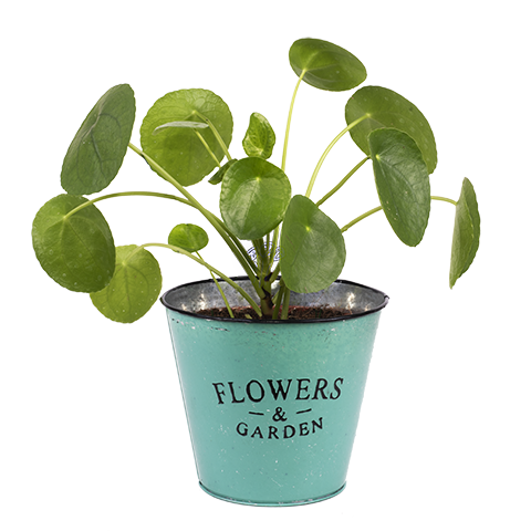Health and Prosperity: Chinese Money Plant