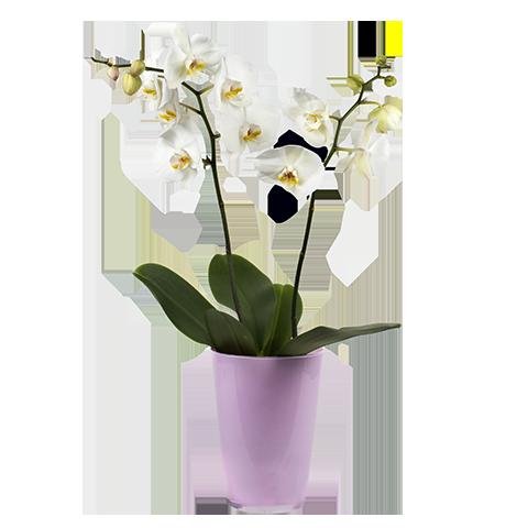 Zarte, weiße Orchidee im Übertopf