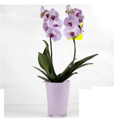 Venus Kiss: Pink Orchid