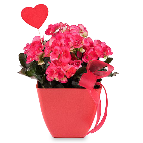 A Happy Begonia: Red Begonia