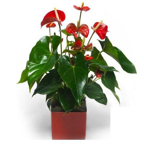 Red Delight: Anthurium