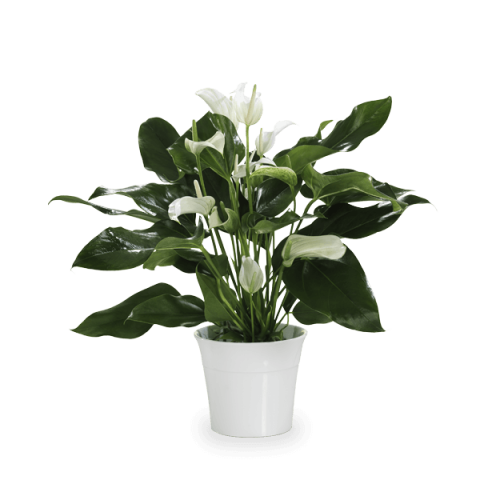 Zen Calm: White Anthurium