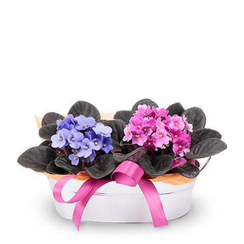 Joy in a Basket: 2 African Violets