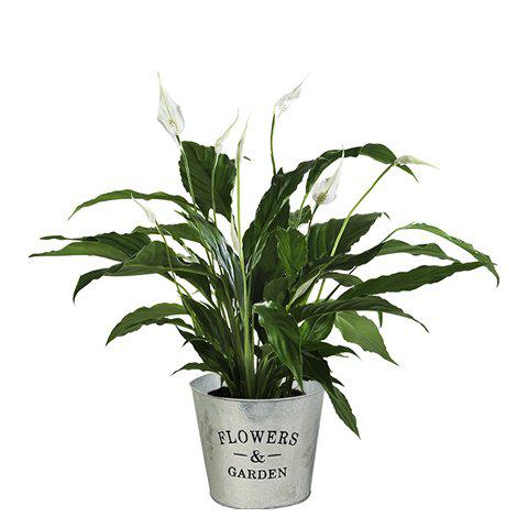 Anthurium Blanc : Brise Pure