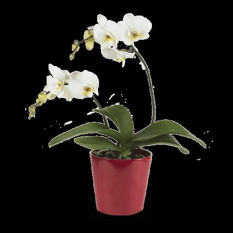 Sourire lumineux: Orchidée Blanche