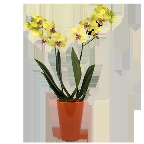 envoyer une orchid e jaune un ami floraqueen. Black Bedroom Furniture Sets. Home Design Ideas