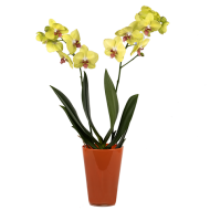 Charme Ensoleillé : Orchidée Jaune