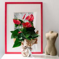 Rote Freude: Flamingoblume