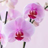 Baiser de Vénus: Orchidée Rose