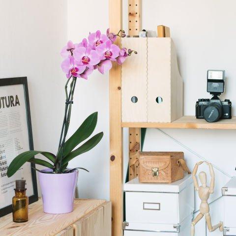 Orquídea Rosa: Beso de Venus