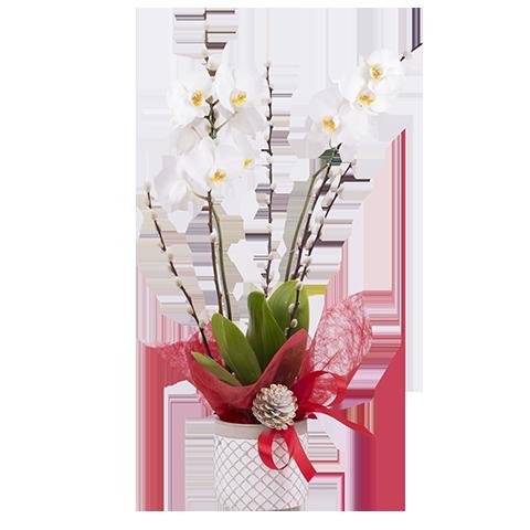 Cometa: Orquídea y Salix